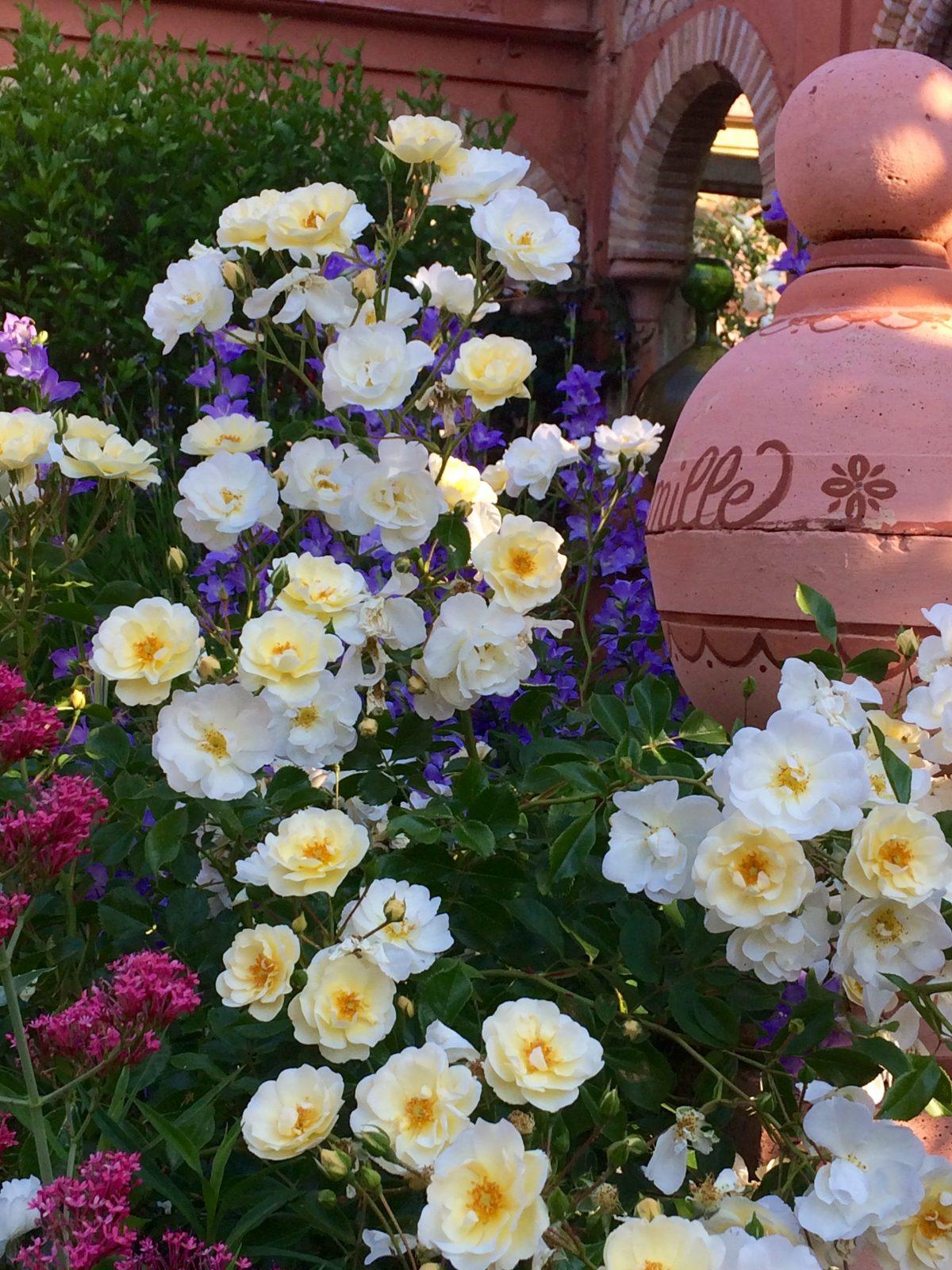rosier du jardin de curé