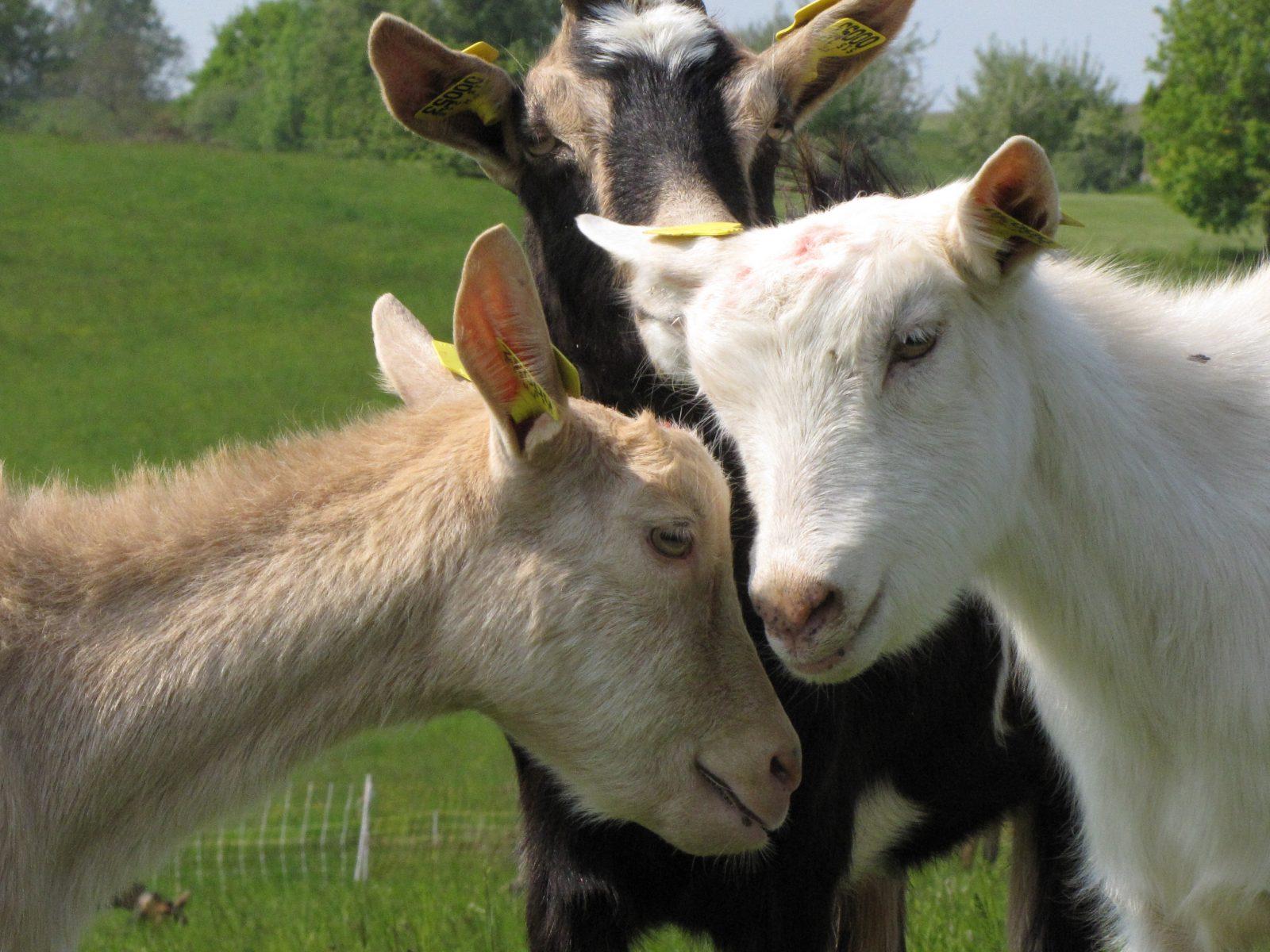 La chèvrerie de Jérémy