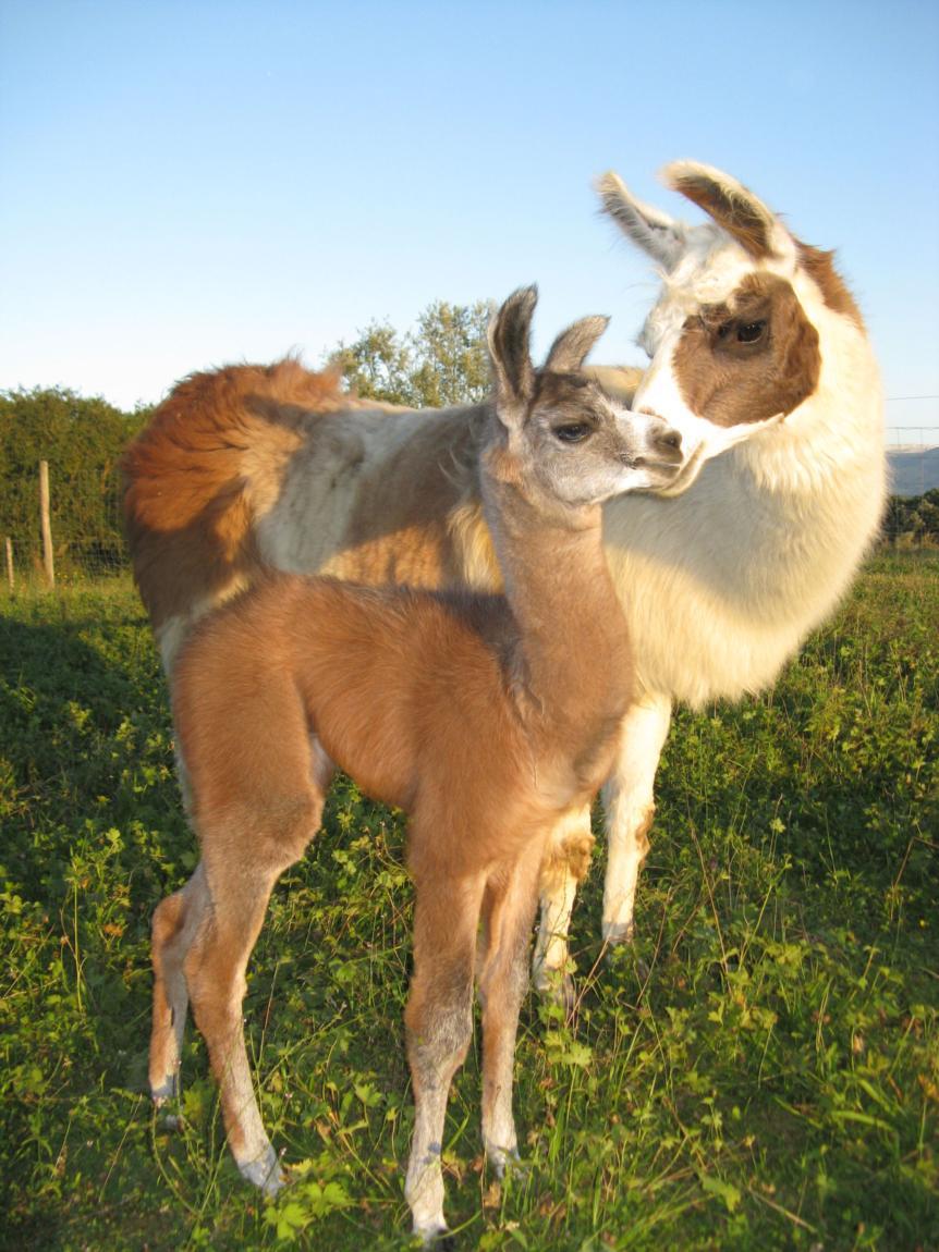 Lamas et safran de Salagine
