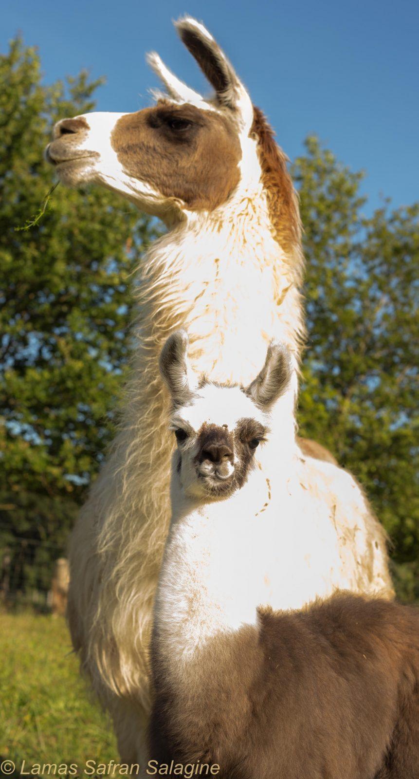Lamas de Salagine – Bloye