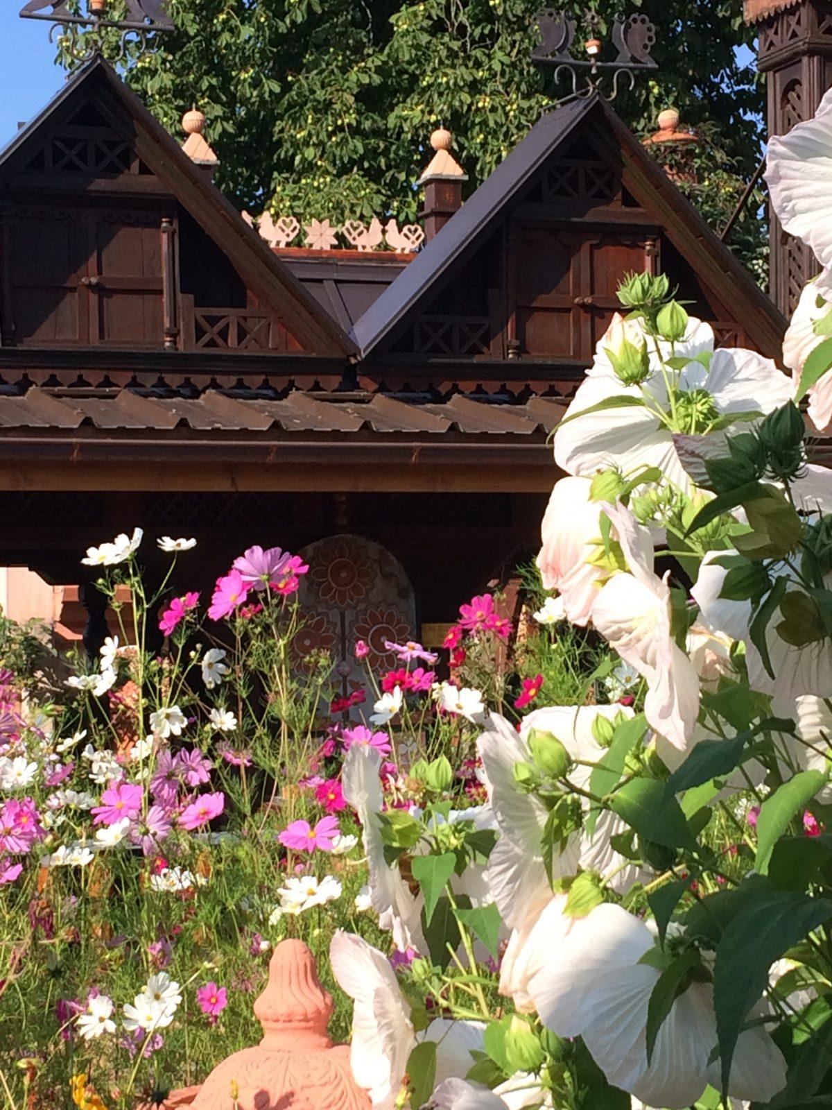cosmos et roses trémières