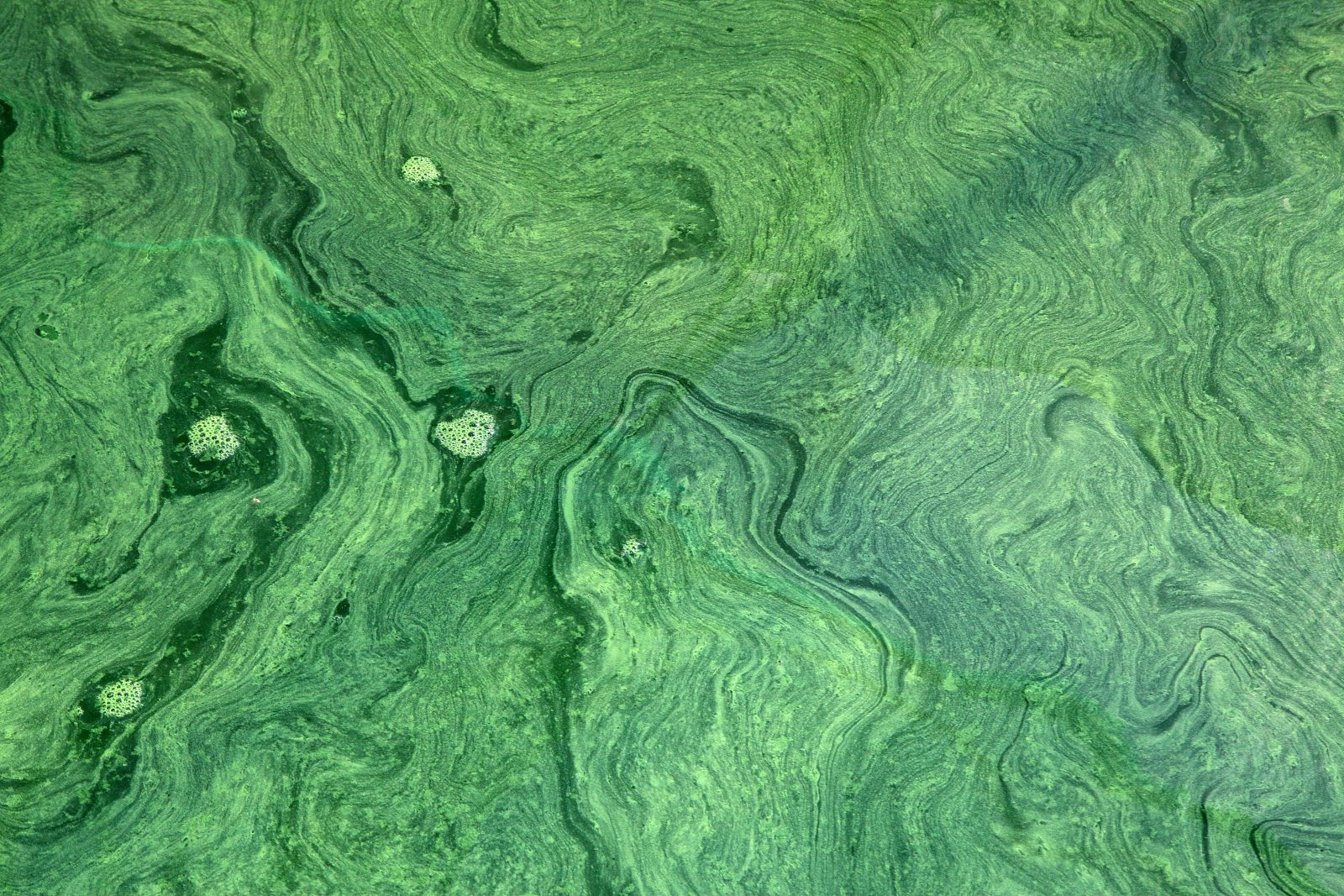 Milieu de vie Spiruline des Bauges dans bassin de production